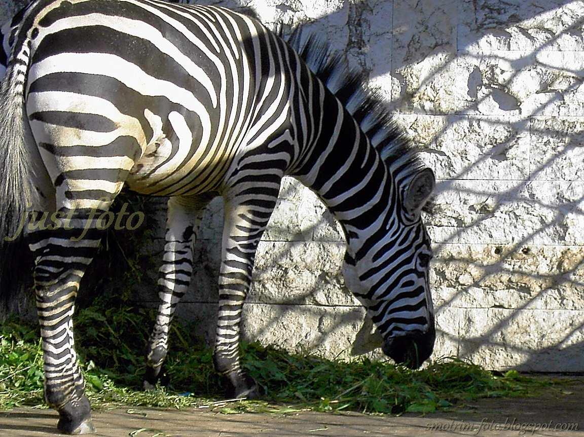 Зебра полосатая в вольере зоопарка Санкт-Петербурга фото