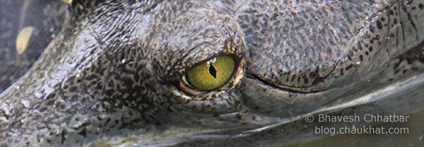 Eye of a Gharial [Scientific Name: Gavialis Gangeticus, Hindi Name: घऱियाल] AKA Indian Gavial, Indian Crocodile, Indian Croc