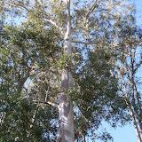 eucaliptus - 002.JPG