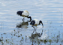 heilige ibis.jpg