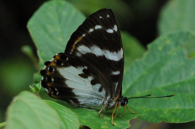 Praetaxilia satraps satraps GROSE-SMITH, 1894, femelle (Riodinidae). Siobri, Arfak, 22 août 2007. Photo : G. Zakine