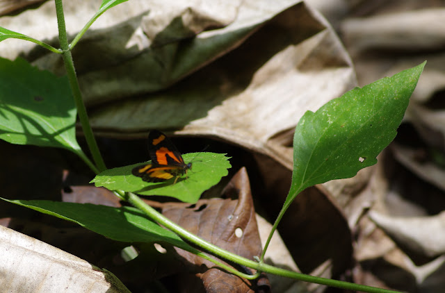 Acraea bonasia bonasia FABRICIUS, 1775. Ebogo (Cameroun), 9 avril 2012. Photo : J.-M. Gayman