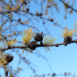Tamarack needles were already yellow.