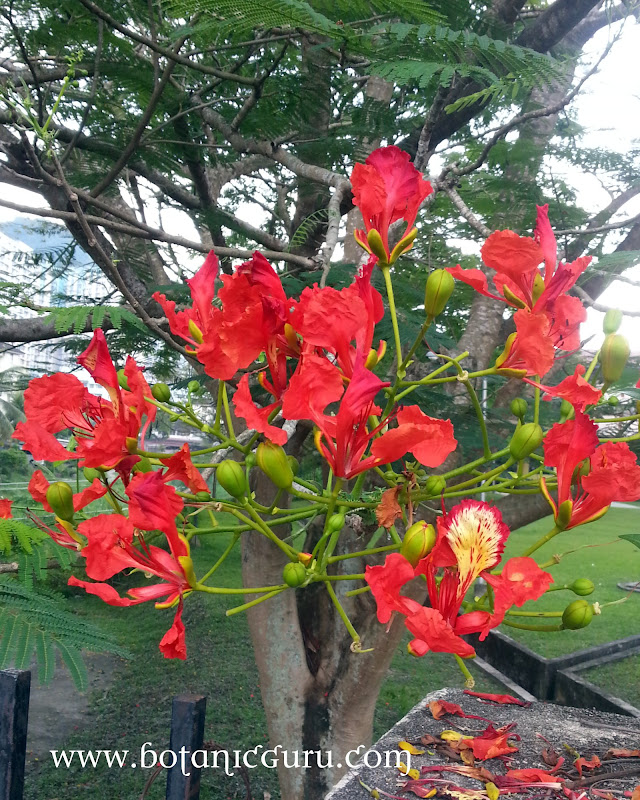 Delonix regia, Flamboyant, Royal Poinciana, Flame Tree flowers