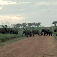 69 elephants crossing .jpg