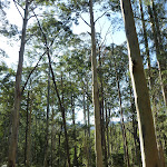 Tall forest near the Kedumba River (316511)