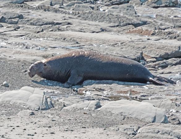 Male Elephant Seal on Beach