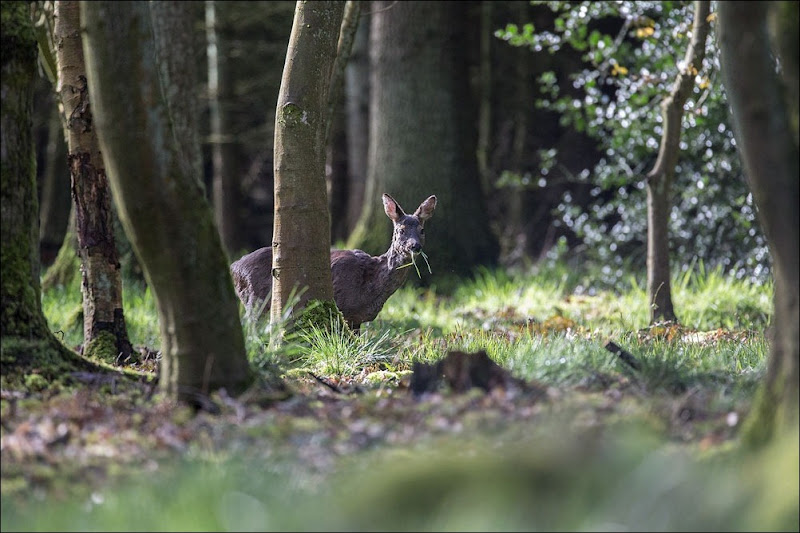 Roe Deer, Woodland Wildlife, feeding