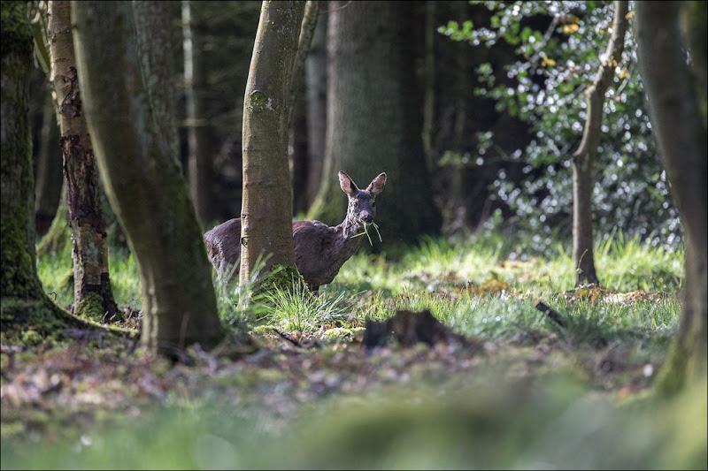 Roe Deer, Woodland Wildlife, feeding