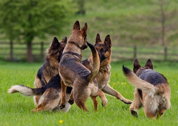 cách nuôi chó becige con, cách huấn luyện chó becgie