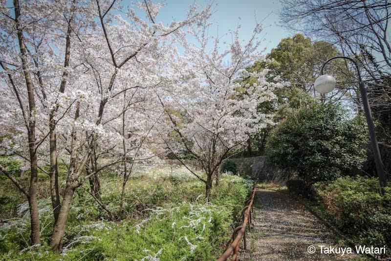 階段の横に桜
