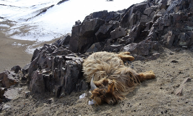 A goat lies dead on a hillside in the Ulziit district of Bayankhongor in Mongolia. It is the victim of a dzud, a weather pattern that occurs when a dry summer is followed by a harsh winter. This dzud occurred during the winter of 2015/2016. Photo: Grace Brown / AP