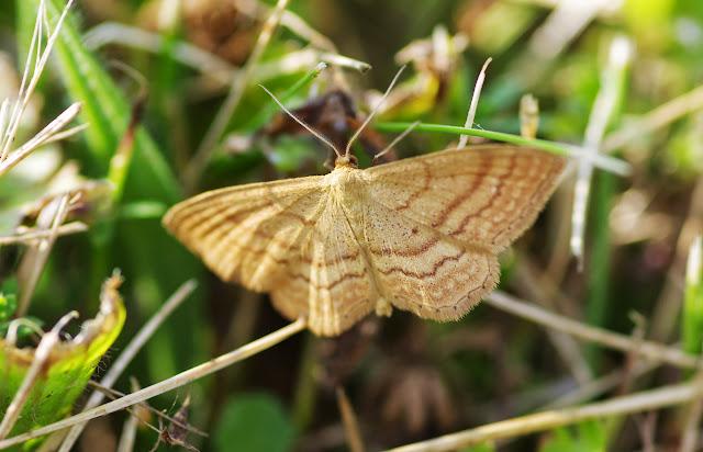 Geometridae : Sterrhinae : Idaea ochrata (SCOPOLI, 1763). Les Hautes-Lisières (Rouvres, 28), 18 juillet 2013. Photo : J.-M. Gayman