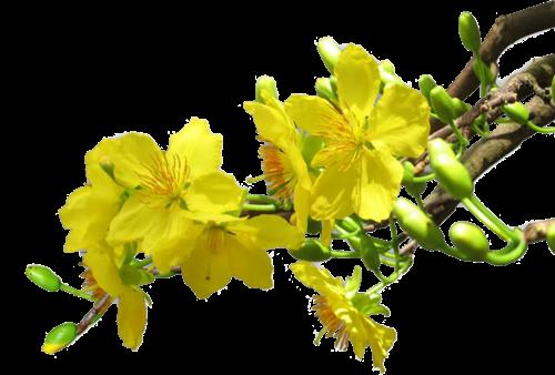 Hình nền, hình ảnh hoa mai tết xuân tuyệt đẹp