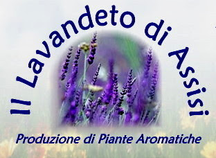 Salvia officinalis e salvie ornamentali coltivazione for Vendita piante e fiori da giardino