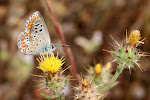 Aricia cramera.5.jpg