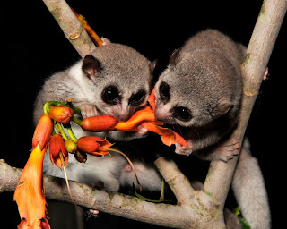 two small fluffy big-eyed fat-tail lemurs eating orange flowers