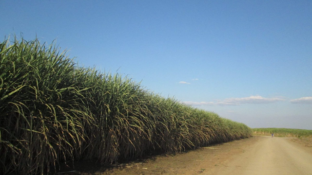 Sugarcane for the Green Fuel ethanol plant in Chisumbanje, Zimbabwe. Photo: Platform for Youth Development