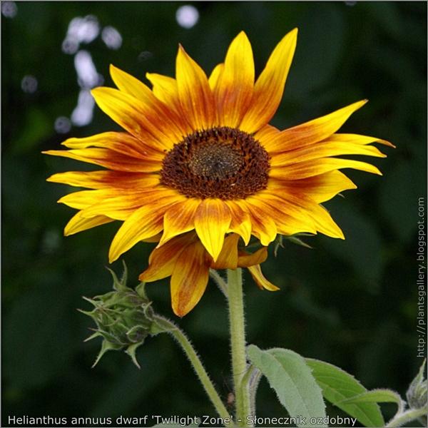 Helianthus annuus dwarf 'Twilight Zone' flower and bud flower - Słonecznik ozdobny 'Twilight Zone' kwiat i pąk kwiatowy