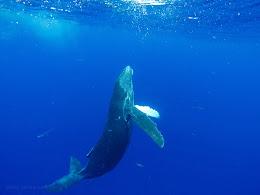 Baby humpback