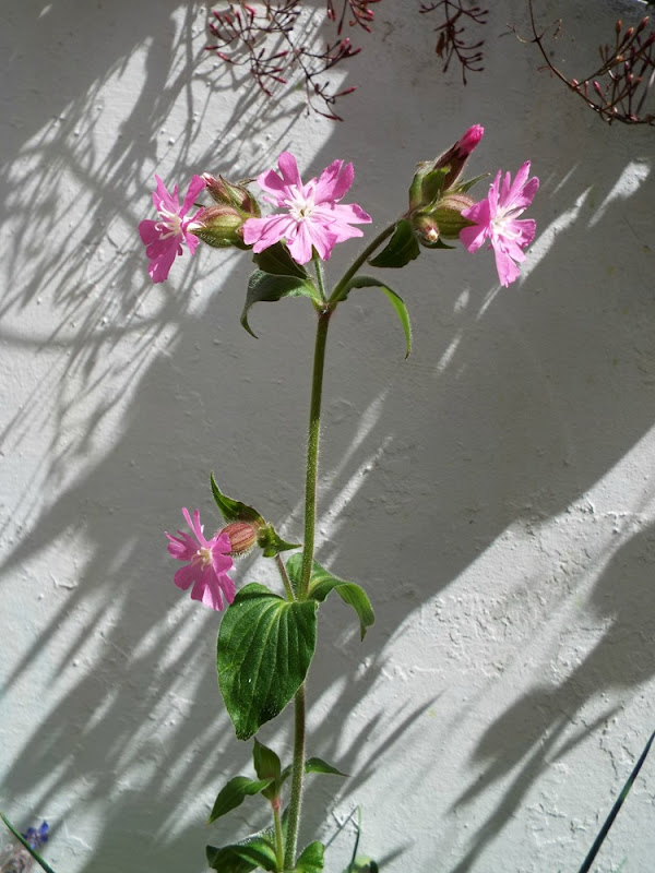 red campion wildflower