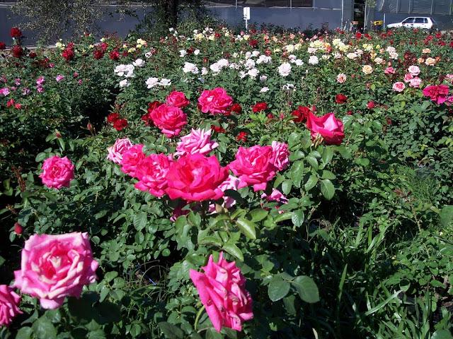 cultivo de plantas florales perennes - 100_0918.JPG