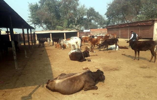 इमलो में बने गो आश्रम की स्थिति निराली, नागरिक व पशु दोनों खुश