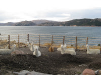 Llamas on Suasi