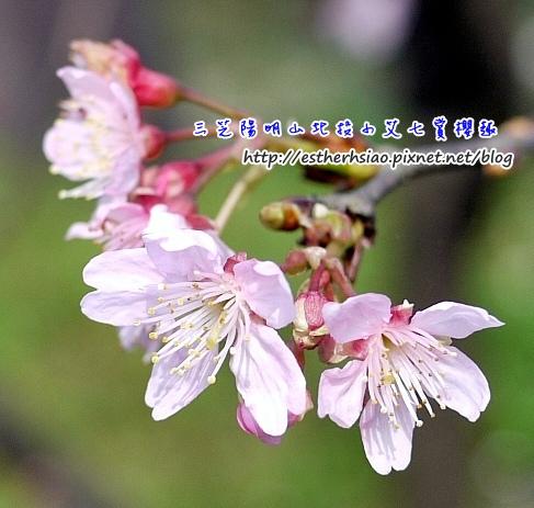 15 櫻花