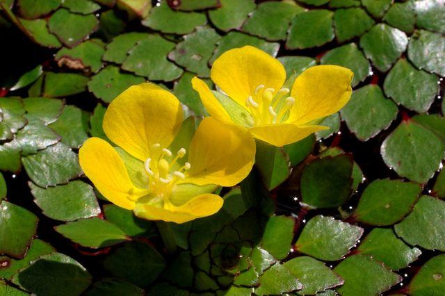 Людвигия очитковидная (Ludwigia sedioides)