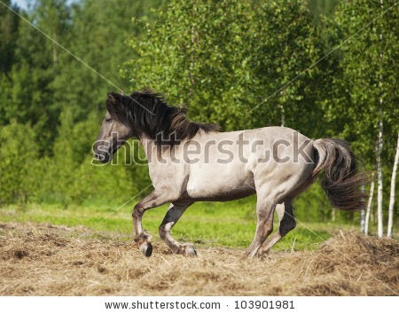 stock-photo-grulla-horse-runs-in-paddock-103901981.jpg
