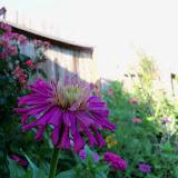 Gardening 2012 - 115_2632.JPG