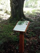 Photo: Бук лісовий
