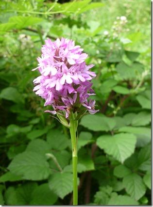 4 pyramidal orchid