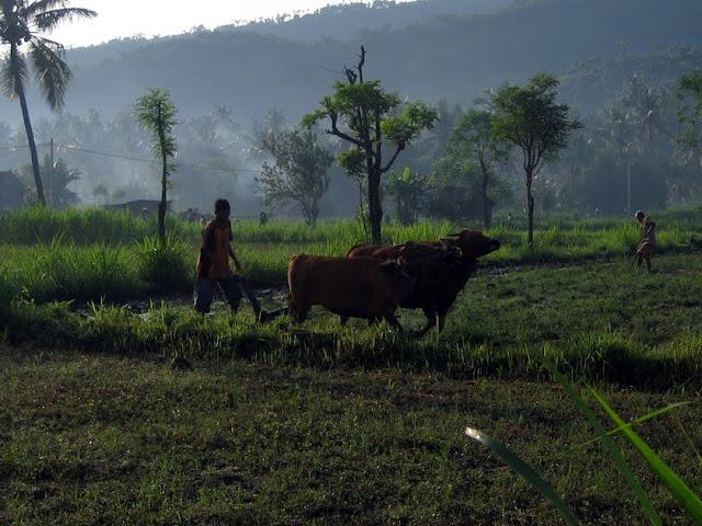 Как выращивают рис на Бали