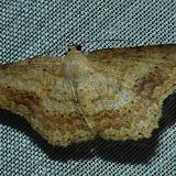 Geometridae : Sterrhinae : Idaea halmaea MEYRICK, 1888. Umina Beach (N. S. W., Australie), 27 décembre 2011. Photo : Barbara Kedzierski