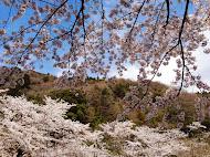 ダムサイトの桜 (2014.4.4)