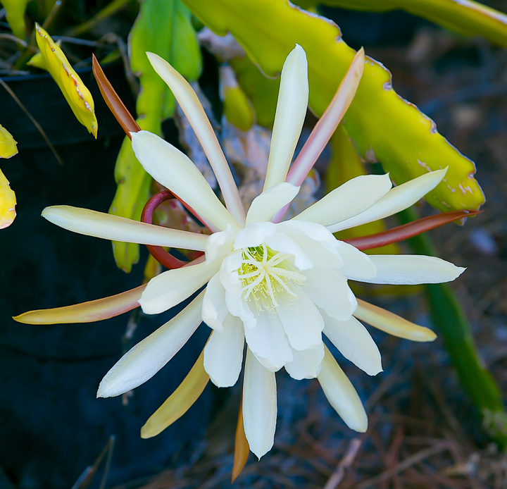 photo of Night Blooming Cereus