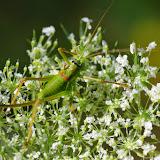 Tettigoniidae : Ephippiger diurnus Dufour, 1841, femelle. Chemin de La Rodé (660 m), Cocurès (Lozère, France), 5 août 2014. Photo : J.-M. Gayman