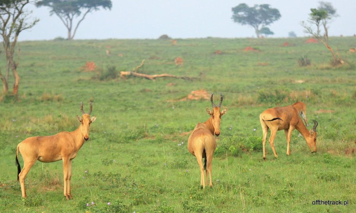 Stado bawolców krowich, park narodowy Murchison Falls, Uganda
