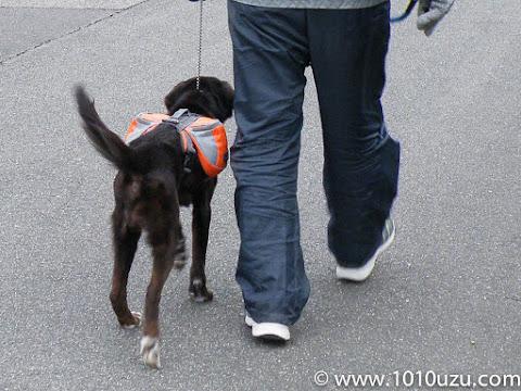 犬用バックパックを装着して歩いているところ