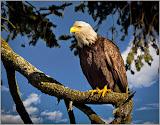 """""""Eagle Portrait"""" by Tim Snyder -- 3d Place General A"""