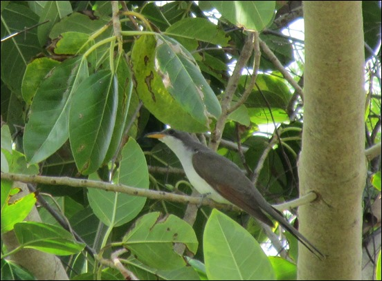 Yellow-billed Cuckoo Bird (1)