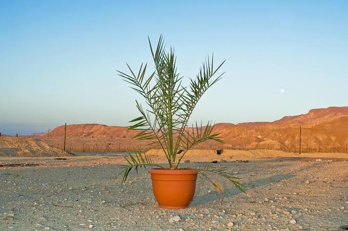 Israel Berhasil Hidupkan 7 Pohon Kurma dari Biji Zaman Nabi Isa