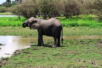 Elephant Drinking 3