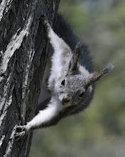 Photo: Abert's squirrel