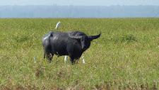 Great old buffalo bull on the floodplains at Carmor Plains