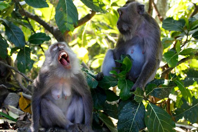 Monos gritando en el Monkey Forest