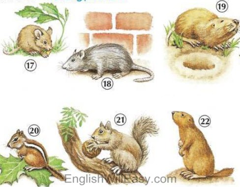 Picture Dictionary- Domestic Animals, Rodents