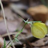 Eurema elathea lamasi BRÉVIGNON, 1993. Carbets de Coralie (Crique Yaoni), 31 octobre 2012. Photo : J.-M. Gayman